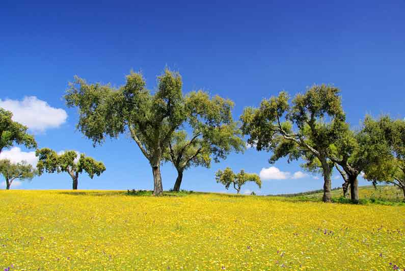 Image of cork trees in Alentejo region of Portugal