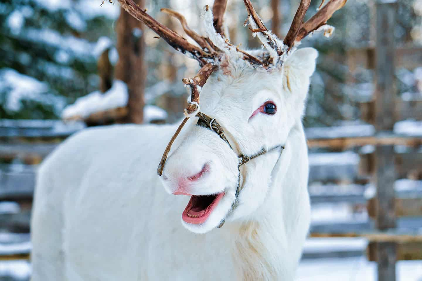 Image of a reindeer at Rovaniemi, Finland