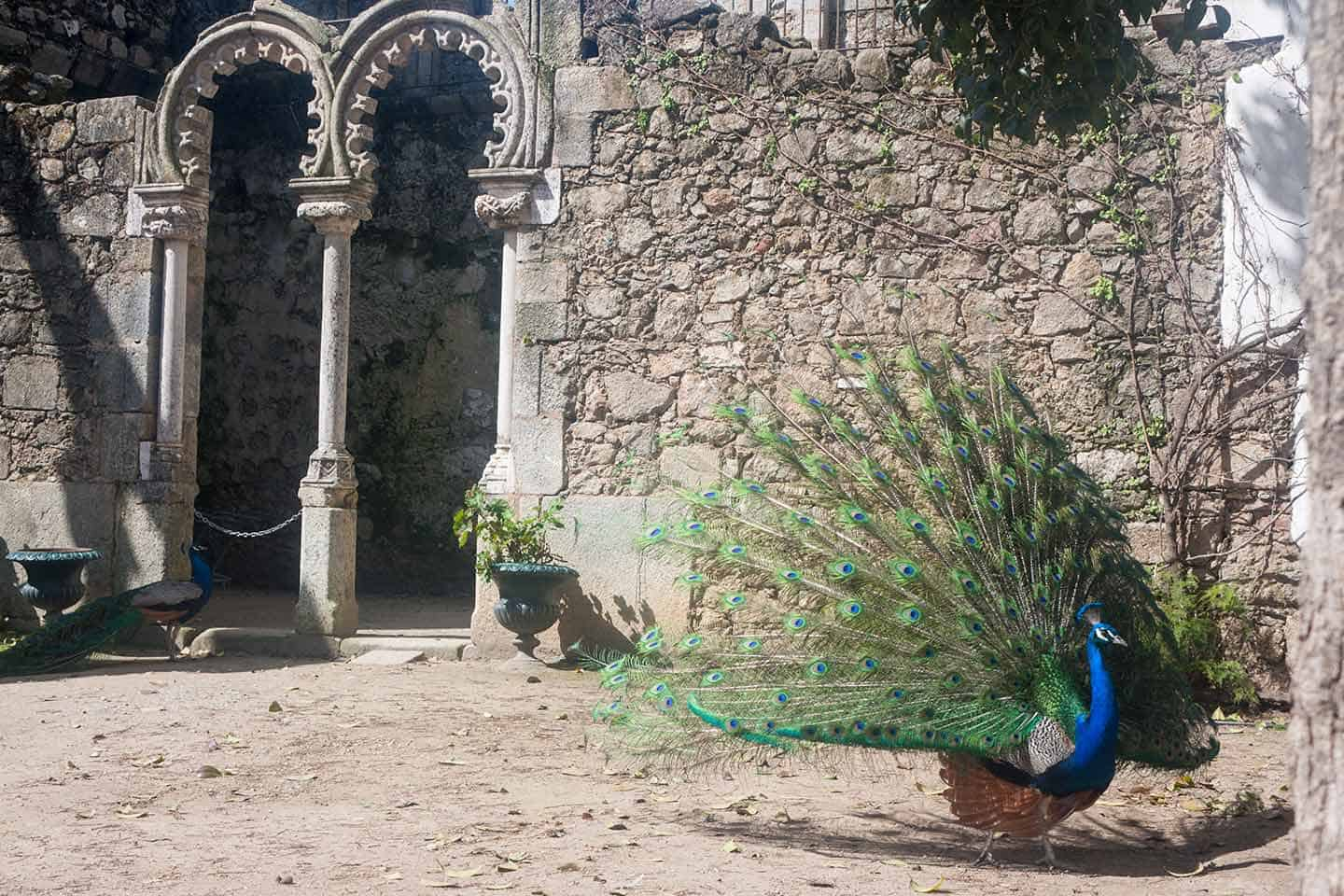 Image of a peacock in the Jardim Publico park, Evora