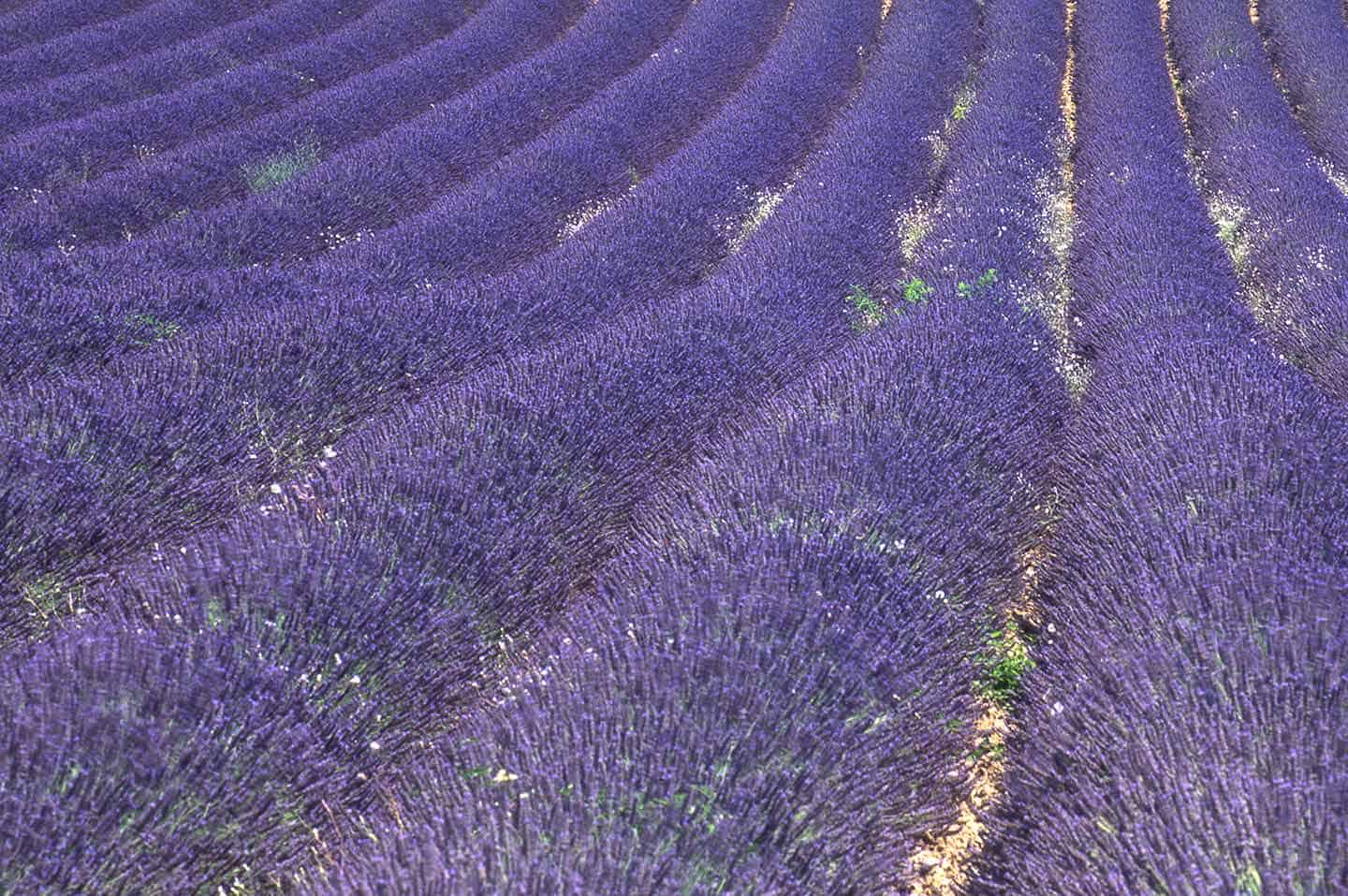 Image of a lavender field near Sault, Provence