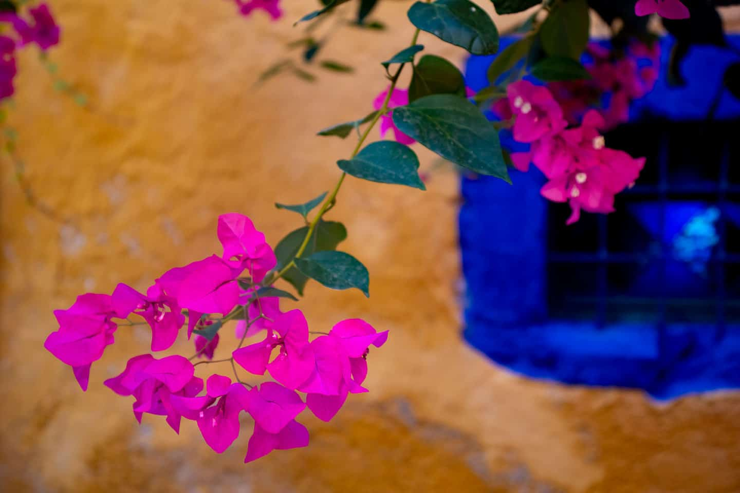 Image of bougainvillea flowers against a yellow wall background in Chania
